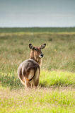 Waterbuck Watching Royalty Free Stock Photo