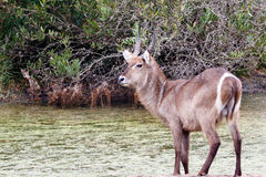 Waterbuck at the Water. Kragga Kamma Game Park in Port Elizabeth lush coastal forest and grassland is home to vast herds of African game stock photography