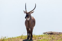 Waterbuck at the water Stock Image