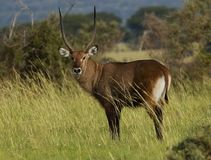 Waterbuck, Waterbok, ellipsiprymnus de Kobus photo stock