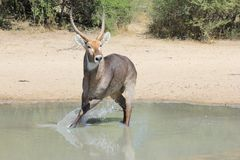 Waterbuck - Wildlife from Africa - Alerted to Danger, Splash of Escape. A Waterbuck bull turns to run away after detecting danger.  Photo taken on a game ranch Royalty Free Stock Photos