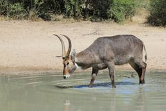 Waterbuck - Wildlife from Africa - Drinking water African style Stock Images