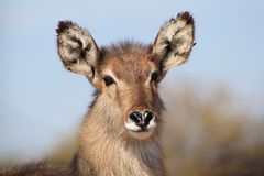 Waterbuck - Wildlife from Africa - Portrait of a youngster Royalty Free Stock Photos