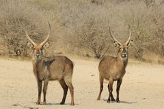 Waterbuck - Wildlife background from Africa - Bull Horns of Power and Pride Royalty Free Stock Photo