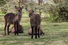 Waterbuck young female in Africa wild nature forest. Waterbuck Kobus ellipsiprymnus wild antelope deer female in Africa savannah nature. Safari game wild nature Royalty Free Stock Images