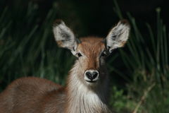 Waterbuck young male in bushveld with I-love-you-nose Stock Images