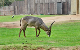 Waterbuck. In the zoo,scientific name is kobus ellipsiprymnus royalty free stock photography