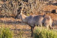 Waterbuck in Zuid-Afrika dichtbij Kruger-Park Royalty-vrije Stock Foto