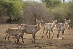 Waterbucks在河岸中, kruger bushveld,克鲁格国家公园,南非 免版税库存照片