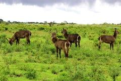 Waterbucks,坦桑尼亚 免版税库存图片