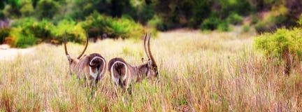 2 Waterbucks в высокорослой траве Стоковые Изображения RF