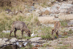 Waterbucks в национальном парке Kruger Стоковое Изображение