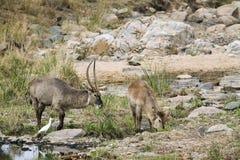 Waterbucks в речном береге, в национальном парке Kruger Стоковые Изображения RF