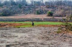 Waterbucks в саванне в Зимбабве, Южной Африке стоковые изображения
