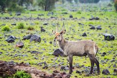 Waterbucks в саванне Amboseli парк в северозападном Стоковые Изображения