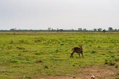 Waterbucks в саванне Amboseli Стоковое Изображение RF