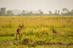 Waterbucks в саванне Amboseli Стоковое Изображение