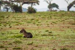 Waterbucks в Amboseli Savannahtern Кении Стоковое Изображение RF