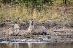2 Waterbucks кладя рядом с водой в Kruger Стоковые Изображения