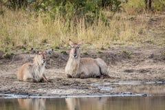 2 Waterbucks кладя рядом с водой в Kruger Стоковое Изображение RF