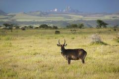 Waterbucks при antlers смотря в камеру с Mount Kenya в предпосылке, охране природы Lewa, Кении, Африке Стоковая Фотография