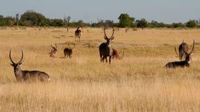 Waterbucks -非洲徒步旅行队 免版税库存照片