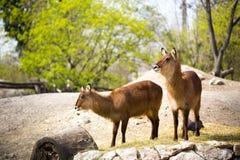 Waterbucks Стоковая Фотография