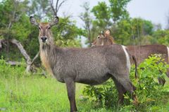 Waterbucks in African bush. Scenic view of two female waterbucks in green African bush Royalty Free Stock Images