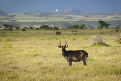 Waterbucks with antlers looking into camera with Mount Kenya in background, Lewa Conservancy, Kenya, Africa Stock Photography