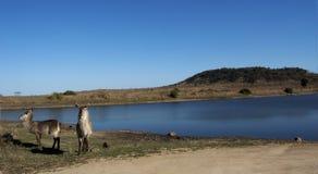 Waterbucks bij waterhole Royalty-vrije Stock Foto