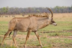 Waterbucks dans la savane au Zimbabwe, Afrique du Sud photos stock