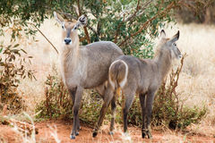 Waterbucks dans le masai Mara Photographie stock libre de droits