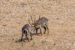Waterbucks, das in Nationalpark Kruger, Südafrika kämpft lizenzfreies stockbild