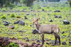 Waterbucks in der Amboseli-Savanne ein Park in nordwestlichem Stockbilder
