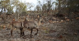 Waterbucks in dry bushland royalty free stock image