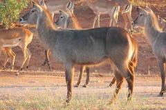 Waterbucks en impala die in de wildernis wordt bevlekt stock fotografie