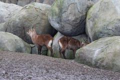 Waterbucks. Female and male Waterbuck standing by rocks. Foto taken in Wildlands zoo in Emmen stock photography