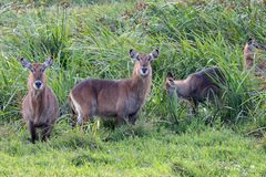 Waterbucks Kenya, Afrika royaltyfria foton