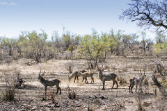 Waterbucks in Kruger National park, South Africa Royalty Free Stock Photography