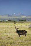 Waterbucks med horn på kronhjort som ser in i kamera med Mount Kenya i bakgrund, Lewa naturvård, Kenya, Afrika Arkivfoton