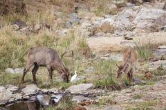Waterbucks in Nationalpark Kruger Stockbild
