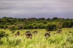 Waterbucks på den Kruger nationalparken royaltyfri fotografi
