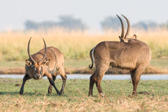Waterbucks during the rut Royalty Free Stock Images