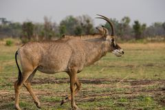 Waterbucks in Savannah off in Zimbabwe, South Africa stock images