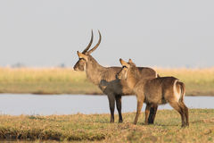 Waterbucks scanning river for predators. Before crossing Stock Images