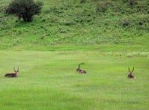 Waterbucks, Tansania stockfoto