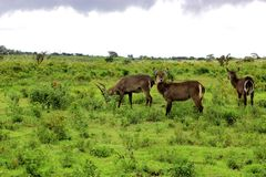 Waterbucks, Tanzania. Waterbucks in arusha national park. Waterbuck is a large antelope found widely in sub-Saharan Africa Stock Photography