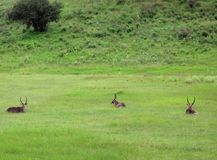 Waterbucks, Tanzania. Three male Waterbucks in arusha national park. Waterbuck is a large antelope found widely in sub-Saharan Africa Stock Photo
