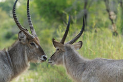 Waterbucks Touching Noses. A pair of waterbucks which look like they are sharing a romantic moment taken in a natural enviroment whilst on safari in The Kruger Stock Photography