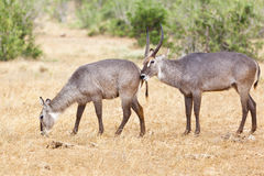 Waterbucks at Tsavo East, Kenya Royalty Free Stock Photos